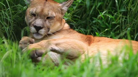 gato selvagem : Mountain lion grooming in huse grass