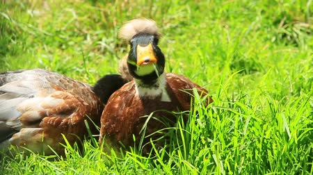 equador : The Mallard, or Wild duck , probably the best-known and most recognizable of all ducks, is a dabbling duck which breeds throughout the temperate and sub-tropical America, Europe, Asia, New Zealand Vídeos