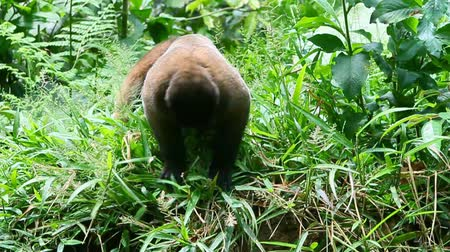 majom : Male woolly monkey searching for insects in Ecuadorian jungle Stock mozgókép