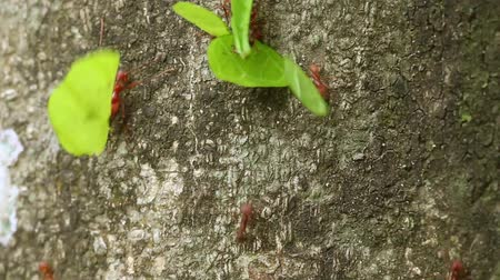 муравей : leaf cutter ants moving from top to bottom of the frame Стоковые видеозаписи