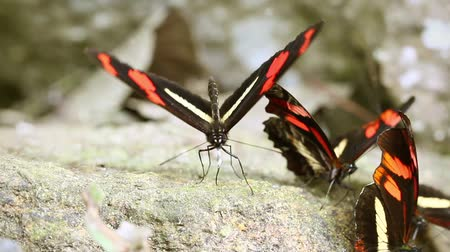 postacı : Group of postman butterfly eating minerals in Ecuadorian rainforest