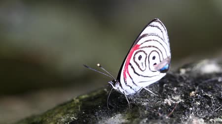 postacı : Commun species of butterfly in Ecuadorian rainforest eting minerals