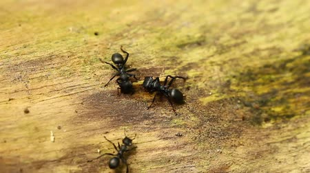 муравей : Three ants gathered to a council