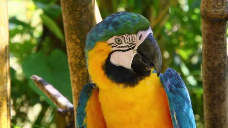 ara papagáj : Blue and yellow macaw resting on a branch in Ecuadorian Amazonia, shot in the wild
