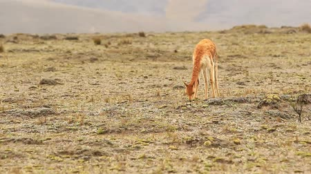 mamal : Male vicuna or vicugna feeding in Chimborazo National park Ecuador, altitude around 4000m