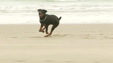 honit : Adult Rottweiler purebred chasing a ball on the beach, slow motion HD footage Dostupné videozáznamy