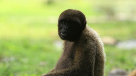 majom : woolly monkey fooling around , Ecuadorian Amazonia