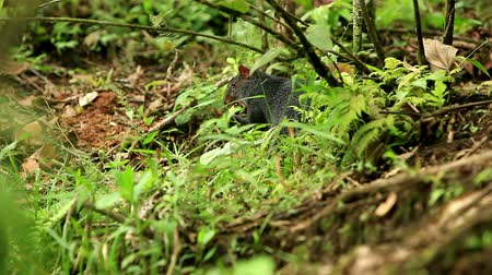 amazonka : Central American agouti or guatusa, shot in the wild in Ecuadorian Amazonia.