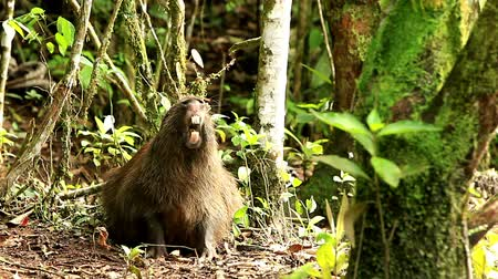 equador : capybara,hydrochoerus hydrochaeris,the largest extant rodent in the world, shoot in the wild in Ecuadorian Amazonia