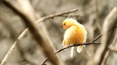 kanári : Canary bird staring at camera, shallow depth of field focus on the bird Stock mozgókép