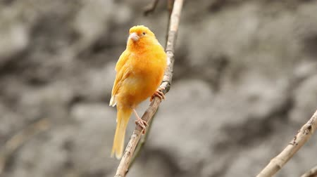 bird's eye view : Canary bird staring at camera, shallow depth of field focus on the bird Stock Footage