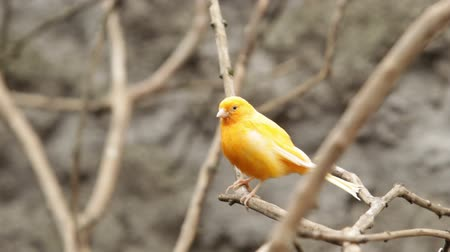 kanarya : Canary bird staring at camera, shallow depth of field focus on the bird Stok Video
