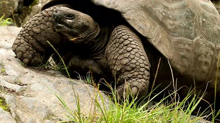 schildpad : Giant Galapagos schildpad close-up shot Stockvideo