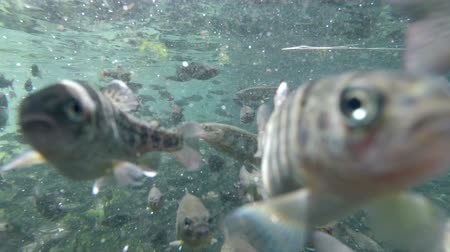 pisztráng : Fry trout in farm, underwater shot