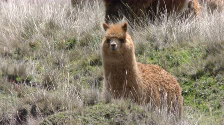 chimborazo : Cute lama camelid in windy highland condition, slow motion static shot