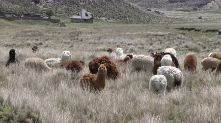 chimborazo : Tranquil scene with heard of lamas in Andes highlands Stock Footage