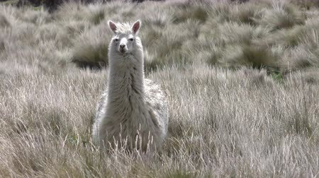 Анды : Wild lama camelid in Andes highlands staring at camera, slow motion