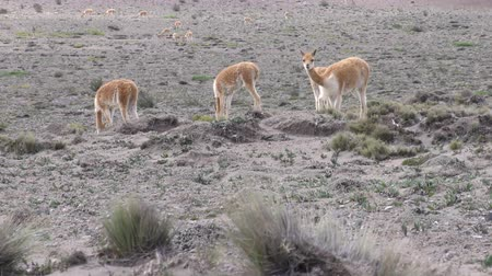 chimborazo : Large heard of vicuna camelids in Ecuadorian highlands