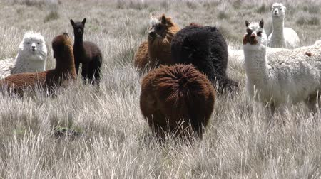 chimborazo : Flock of alpaca camelid in high winds, slow motion pan shot