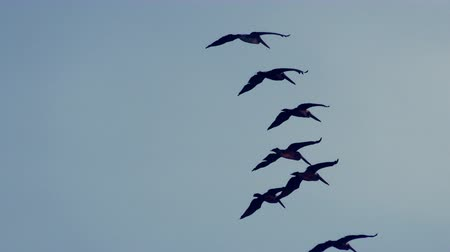 formations : Flock of large size pelicans in flight against blue sky, tracking shot
