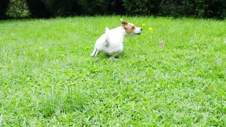 zvedák : Jack Russell terrier enters the frame and catches a tennis ball at the ground level, slow motion 240fps
