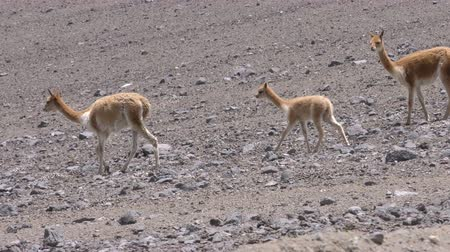 chimborazo : Wildlife shot of vicuna herd with young foal, low level tracking shot Stock Footage