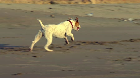 zvedák : Jack Russell terrier sprint on the beach, slow motion tracking shot
