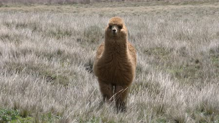 chimborazo : Alpaca camelid on Chimborazo foothills in high winds, slow motion Stock Footage