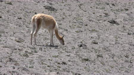 chimborazo : Vicuna camelid grazing on scares vegetation of the Andes deserts Stock Footage