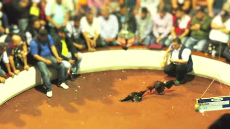 cockfighting : Banos, Ecuador - 06 February 2016: Adult Unidentified People Watching A Legal Cockfight At Public Arena In Banos On February 06, 2016 Stock Footage