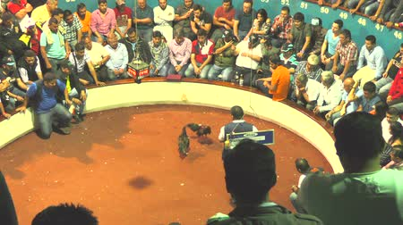 cockfighting : Banos, Ecuador - 06 February 2016: Large Group Of Unidentified People Placing Their Bets Prior To The Cockfight At Public Arena In Banos On February 06, 2016