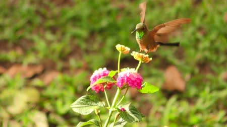 koliber : Hummingbird Flying Around Bright Colored Flower In Search For Pollen Her Favorite Food