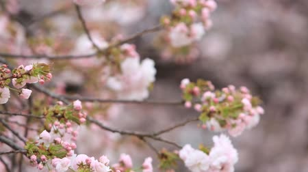 oriental cherry tree : Cherry Blossom with nature background, Sakura season in Japan. Stock Footage