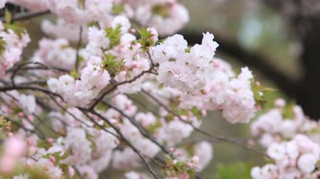 florescente : Cherry Blossom with nature background, Sakura season in Japan. Stock Footage