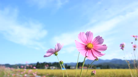 Cosmos flowers and blue sky