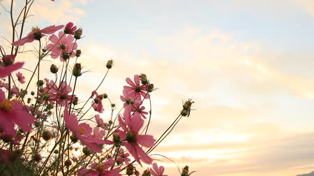 Sunset sky and Cosmos Flowers