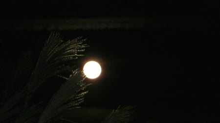 full moon and japanese pampas grass in autumn Стоковые видеозаписи