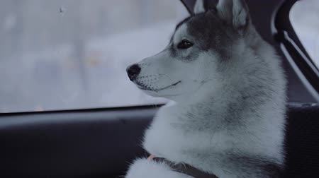 protects : Dog breed husky sitting in the car.