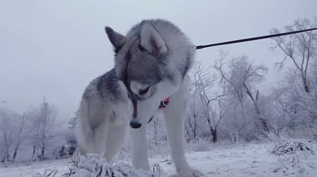 farkas : Siberian husky in the winter forest.