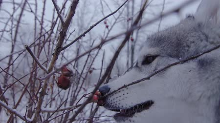 plucks : Breed dog husky winter plucks the berries from the Bush.