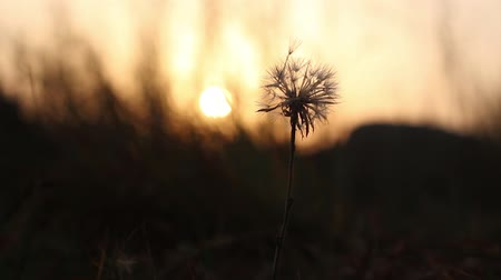 spent : A single, old and wilted dandelion swaying in the wind against a nature background during sunset. Shallow depth of field