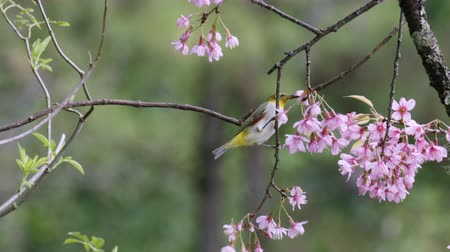 oriental cherry tree : Oriental white-eye and wild himalayan cherry flower