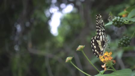 motyl : Butterfly flying slow motion