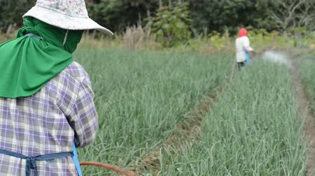 spraying : farmer spraying pesticide at onion field in thailand