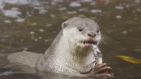 fish eye : Otter eating  fish
