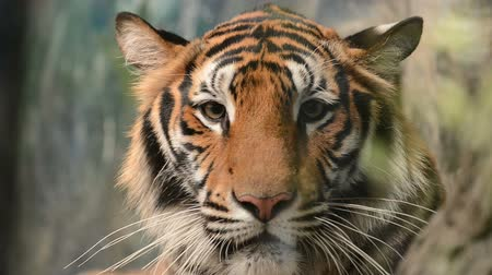 gato selvagem : bengal tiger face close up Stock Footage