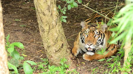 gato selvagem : bengal tiger in a forest atmosphere