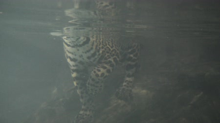 леопард : jaguar swimming