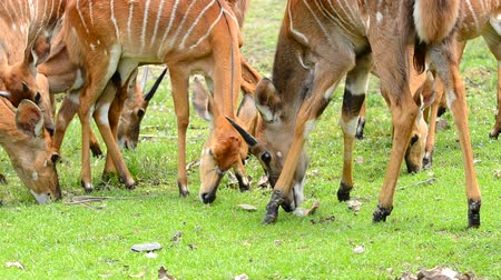 antilopa : nyala eating grass