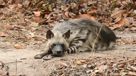 scavenger : striped hyena in zoo